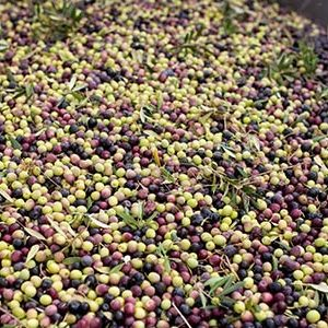 olijfolieoogst Esporao